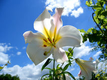 Flower. Here is a white flower wich had the sky behind Royalty Free Stock Photography