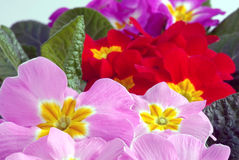 Flower. Red and pink primula flowers Stock Images