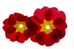 Flower. Red flower  against white background Royalty Free Stock Photo