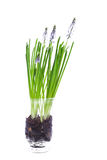 Flower. Glass; white; background; green; plant; flower; spring; ground; root; burst into bloom; blossom out; blue Stock Photos