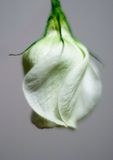 Flower 2. An eustoma flower, macro shot. essence of tenderness and odour Royalty Free Stock Images