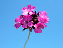 Flower. Pink flower. Isolated pink flower on blue sky. Lovely pink flower stock photography