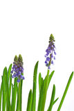 Flower. Glass; white; background; green; plant; flower; spring; ground; root; burst into bloom; blossom out; blue Royalty Free Stock Images