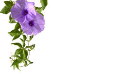 Flower. Lovely purple flowers on white Royalty Free Stock Image