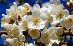 Flower. Cherry flowers in fine weather in the pacific northwest Royalty Free Stock Photo