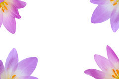 Flower. Beautiful violet flower on a white background royalty free stock photos