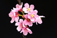 Flower. Close up Pink cherry blossom sakura on black Stock Images