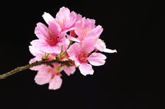Flower. Pink cherry blossom sakura on black Stock Images