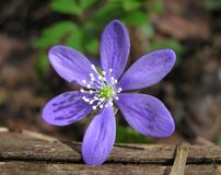 Flower. Wet flower on top of wood royalty free stock photos