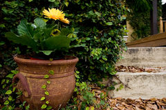 Flower. Pot with a yellow Stock Image