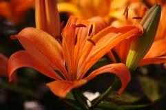 Flower. Dutch's flower in a sunny field Stock Photo