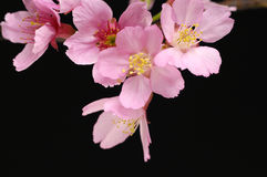 Flower. Close up Pink cherry blossom sakura on black Stock Photos