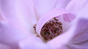 Lilac rose flower. Background of a blooming rose flower with lilac tones Stock Photo