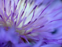Flower... The world of stamens Royalty Free Stock Photography