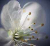 Flower. Close up view of cherry flower Stock Image