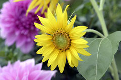 Flower. Sun Flower in full bloom Stock Photos