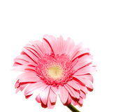 Flower. On a white background Stock Photo