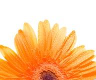 Flower. Gerbera. Isolation on white Stock Image