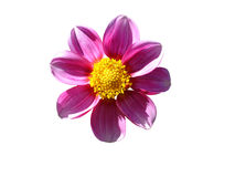 Flower. Beautiful pink flower isolated on white background Royalty Free Stock Photo