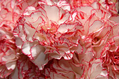 Flower 39. White with red carnations flowers background stock images