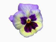 Flower. A pansy flower isolated on white background Royalty Free Stock Photography