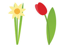 Flower. S: tulip and daffodil. On white background Royalty Free Stock Image