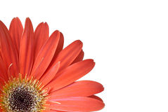 Flower. Red flower isolated over white Royalty Free Stock Images
