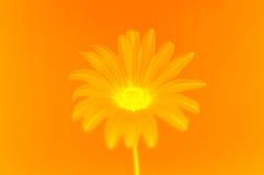 Flower. Macro shot of gazania stock images