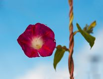 Flower. Red flower and blue sky Stock Photography