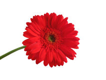 Flower. Isolated big red flower in background Stock Images
