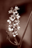 Flower. In sepia tone Stock Photos
