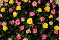 Flower 48. Pink and yellow roses on black background royalty free stock photography