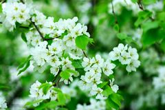 Flower. The branches of fruiters covered by flowers Royalty Free Stock Photography