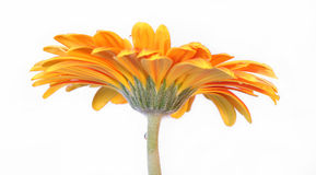 Flower. Beautifulst flower orange from the great scent Stock Photo