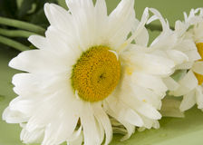 Flower. White camomile on green background Stock Photos