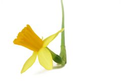 Flower. Narcissus isolated Stock Images
