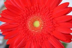 Flower. Red flower-flower of love Royalty Free Stock Photo