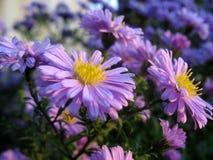 Flower. Blue Flower in the Garden Stock Images