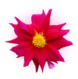 Flower. Color flower with clipping path on isolated background Stock Image