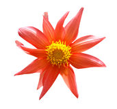 Flower. Color flower with clipping path on isolated background Royalty Free Stock Photo