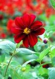 Flower. Lovely single flower on garden Stock Photography