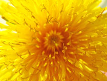 Flower. Dandelion macro stock photos