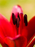 Flower. A close up on pollen covered stamen on a red flower Stock Photos