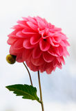 Flower. Pink dahlia. Close-up view Royalty Free Stock Photos
