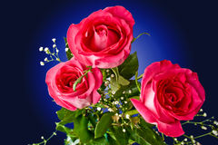 Pink roses. On a dark blue background Royalty Free Stock Photos
