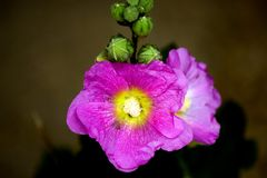 Flower. Violet flower on dark background Stock Photography