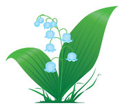Flower. Lily of the valley, illustration Royalty Free Stock Photography