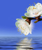 Flower above water Stock Image