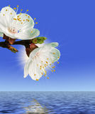 Flower above water Royalty Free Stock Images
