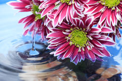 Flower Above Water Royalty Free Stock Image